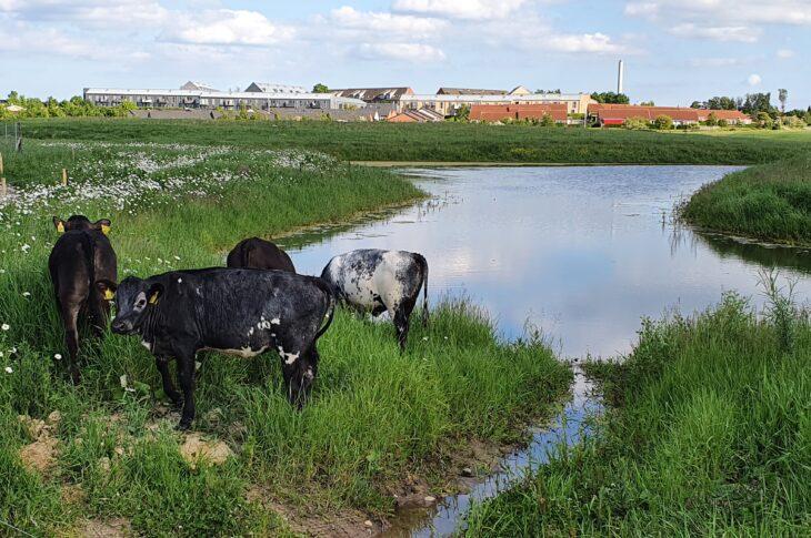 Billede kvæg på græs